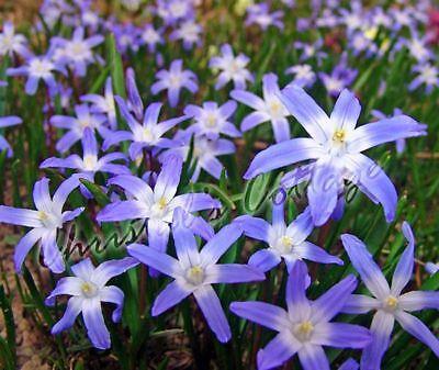 10 Glory of The Snow Chionodoxa luciliae Garden Bulbs Corms Spring Purple Flower