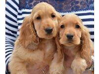 Stunning cocker spaniel puppies