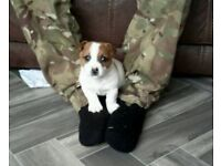 Minature jack russell pup