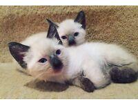 ragdoll burmese kittens