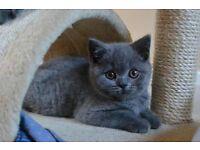 british shorthair cross ragdoll kittens ready now