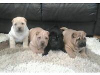 Shar Pei puppy's