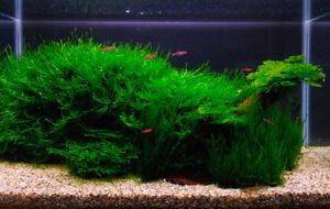Aquatic Plants, Java Moss/Fern, Snails & Goods! Shipped to You!