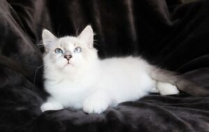 Friendly Ragdoll Boy Kitten Is Available For A Good Home