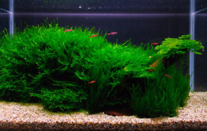 Live Aquatic Plants, Dry Goods, Snails! Shipping Available!