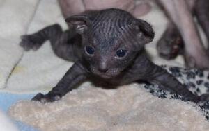 Don-Sphynx kittens