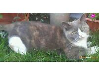 Missing Female Cat Since Friday 25th - Brown, Grey & White colour