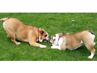 RELIABLE DOG WALKER AND DOG BOARDING, VERY AFFORDABLE, IN FULHAM, BATTERSEA, CHELSEA, PUTNEY