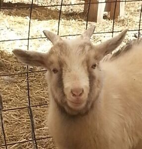 Sweet Tempered Billy Goat