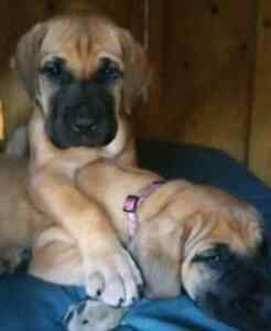 Fawn/Brindle Great Dane Puppies