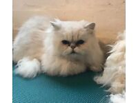 Male Persian cat