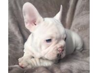 Kc registered white french bulldog male