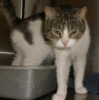 """Adult Female Cat - Domestic Short Hair: """"Milly 15 (PN 76)"""""""