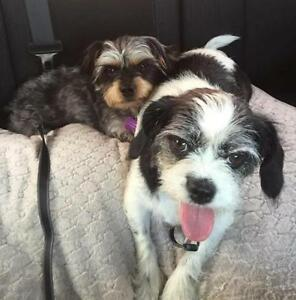 Young Male  - Yorkshire Terrier Yorkie-Shih Tzu