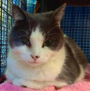 """Adult Female Cat - Domestic Short Hair - gray and white: """"Chloe"""""""