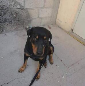 "Adult Female Dog - Rottweiler: ""Macarena"""
