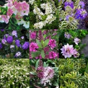 MIXED LOT OF 6 EVERGREEN HEBE PLANTS, WINTER HARDY QUALITY SHRUBS, IN 9 cm POTS