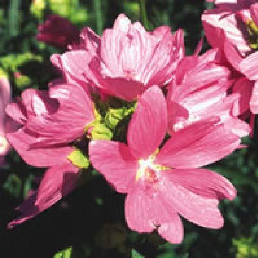 500 Seed Wild Flower Malva moschata Musk Mallow