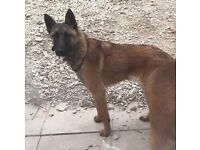 Female belgian malinois