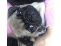 Last Fawn pug puppy