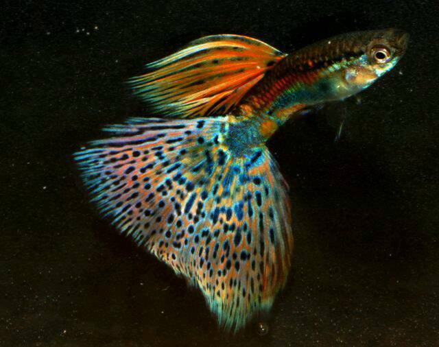 red blue grass guppies guppy fish rare young pairs in east