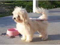Dog for sale (Bichon Maltese)