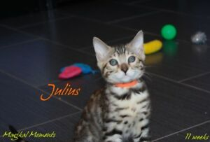 Playful Bengal Kittens - ready this weekend!