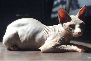 8 Month Old Male Sphynx Kitten For Sale