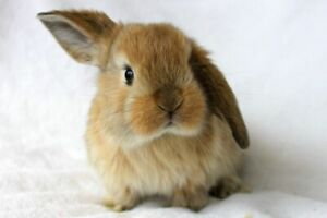 Female Lop mix bunny