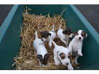 Kccf 5 Jack Russell Pups 3 Girls 2 Boys