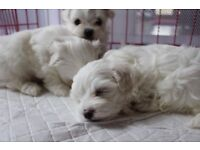 Pure Pedigree Maltese Puppies