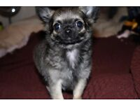 Kc Reg Long Haired Chihuahua Boy #3 Fawn Sable