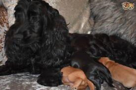 5* F1 Cockapoo Puppies
