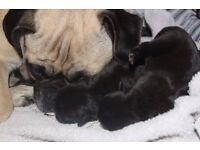 Adorable Pug Puppies (Ready Now!)