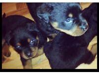 Top bloodline kc reg rottweiller puppys