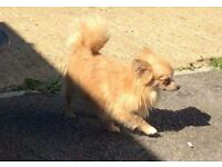 Long haired chihuahua male