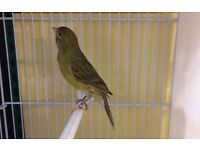 Timbrado Canary (Male)