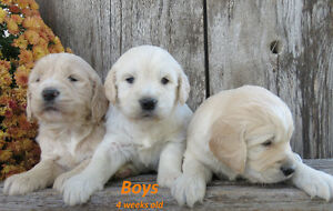 Standard F1 Goldendoodle Puppies