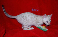 Last one     SNOW  Bengal kittens   TICA Registered
