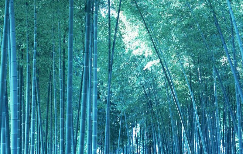 40 pcs - Blue Moso Bamboo Seeds Rare Bambusa