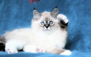 Fluffy Ragdoll kittens are available for adoption.