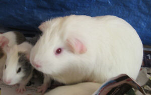 Very loving Mommy guinea pig and her daughter in Airdrie