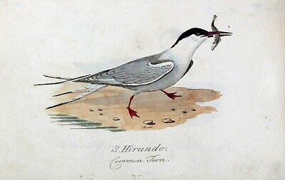 Fluss-Seeschwalbe Common Tern Sterna H irundo Goélette Fisch Schnabel Jagd Küste
