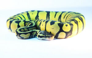 Young and adult ball pythons for sale