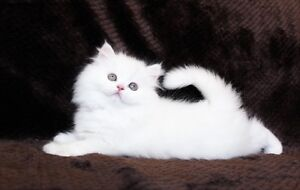 White female Toycup Persian kitten is available for adoption.