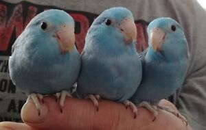 Baby Pacific Parrotlets