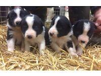 Border Collie Dog Puppy