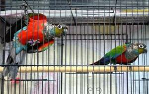 CRIMSON BELLIED CONURES South Grafton Clarence Valley Preview