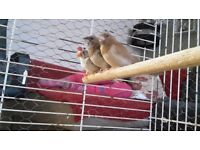 4 finches for sale
