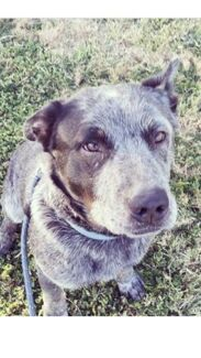 Frank the cattle dog
